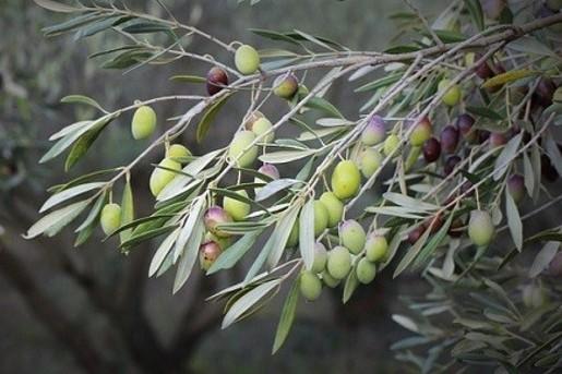 Побочные продукты при производстве оливкового масла удешевят косметическую продукцию